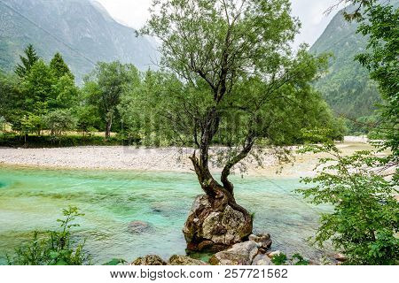 Tree Growing From A Rock On The River In Slovenia.