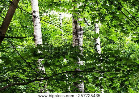 View Of Green Dense Forest With Maple Branches And Birch Trunks In Timiryazevskiy Park Of Moscow On