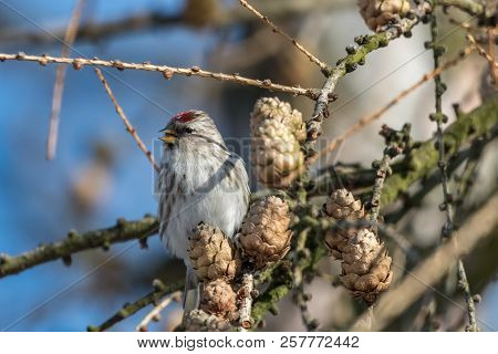Common Redpoll (acanthis Flammea) Perching On Larch Twig With Cones. Small Brownish-grey Finch With