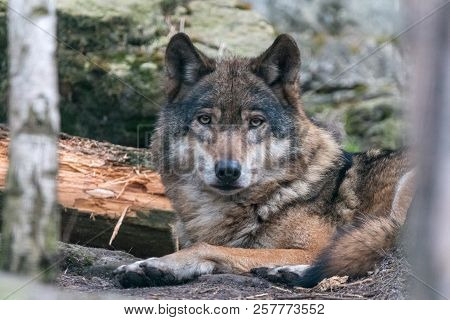 Close-up portrait of gray wolf (Canis lupus) with blurred background. Beautiful predator timber or western wolf lying on the ground.