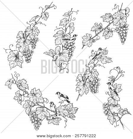 Hand Drawn Goldfinches Sitting On Grape Branches With Berries. Monochrome Set Of Birds And Grapes.ve
