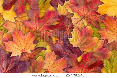 Colorful Background Of Autumn Maple Tree Leaves Background Close Up. Multicolor Maple Leaves Autumn