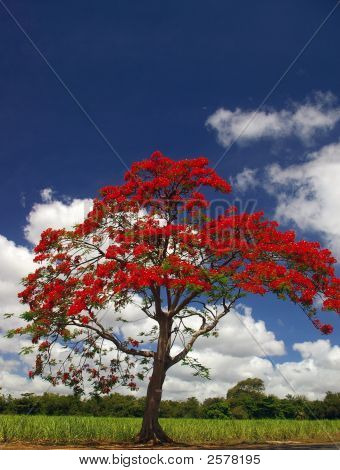Flame Tree In Front Of Field And Against Sky Background
