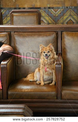 small dog on chair. Cute small dog relaxes on a brown leather chair and smiles.