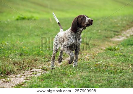 german shorthaired pointer, german kurtshaar one brown spotted puppy  runs along the field separated by a path, the head raised high, hunting instincts, attentive and tense body, poster
