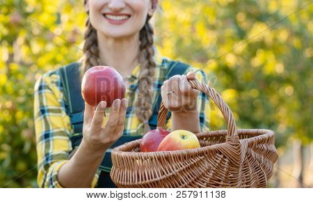 Farmer woman in fruit orchard holding apple in her hands offering, focus on the fruit