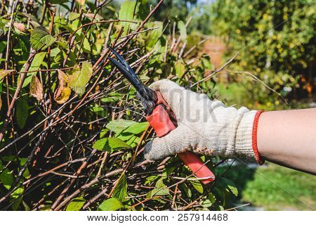 Hand In A Glove With Garden Scissors Trimming A Bush. Cutting Faded Stems, Hedge, Branches With Gard