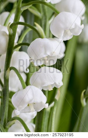 The branch of lilies of the valley flowers, Convallaria Majalis, with green leaves isolated on white