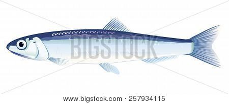 One Anchovy Fish From One Side, High Quality Illustration Of Sea Fish, Realistic Sea Fish Illustrati