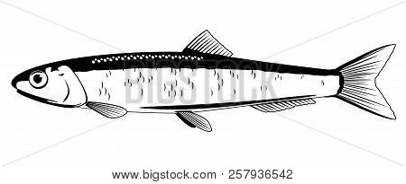 One Anchovy Fish In Side View In Black And White Color, Isolated