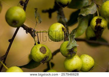 Green Wild Apples. Wild Apples In The Forest. Wild Wild Apples Green