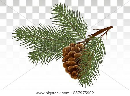 A Branch Of Pine / Cedar With A Cone. Postcard, Invitation. Green Realistic Branch Of Fir Or Pine Cl