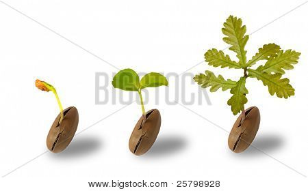Early life of an oak tree isolated on white poster