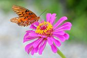 Monarch butterfly resting on pretty pink flower poster