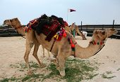 Hobbled camels at a cultural event in Doha Qatar where they are being prepared for a show of traditional skills. The Qatari flag is in the background poster