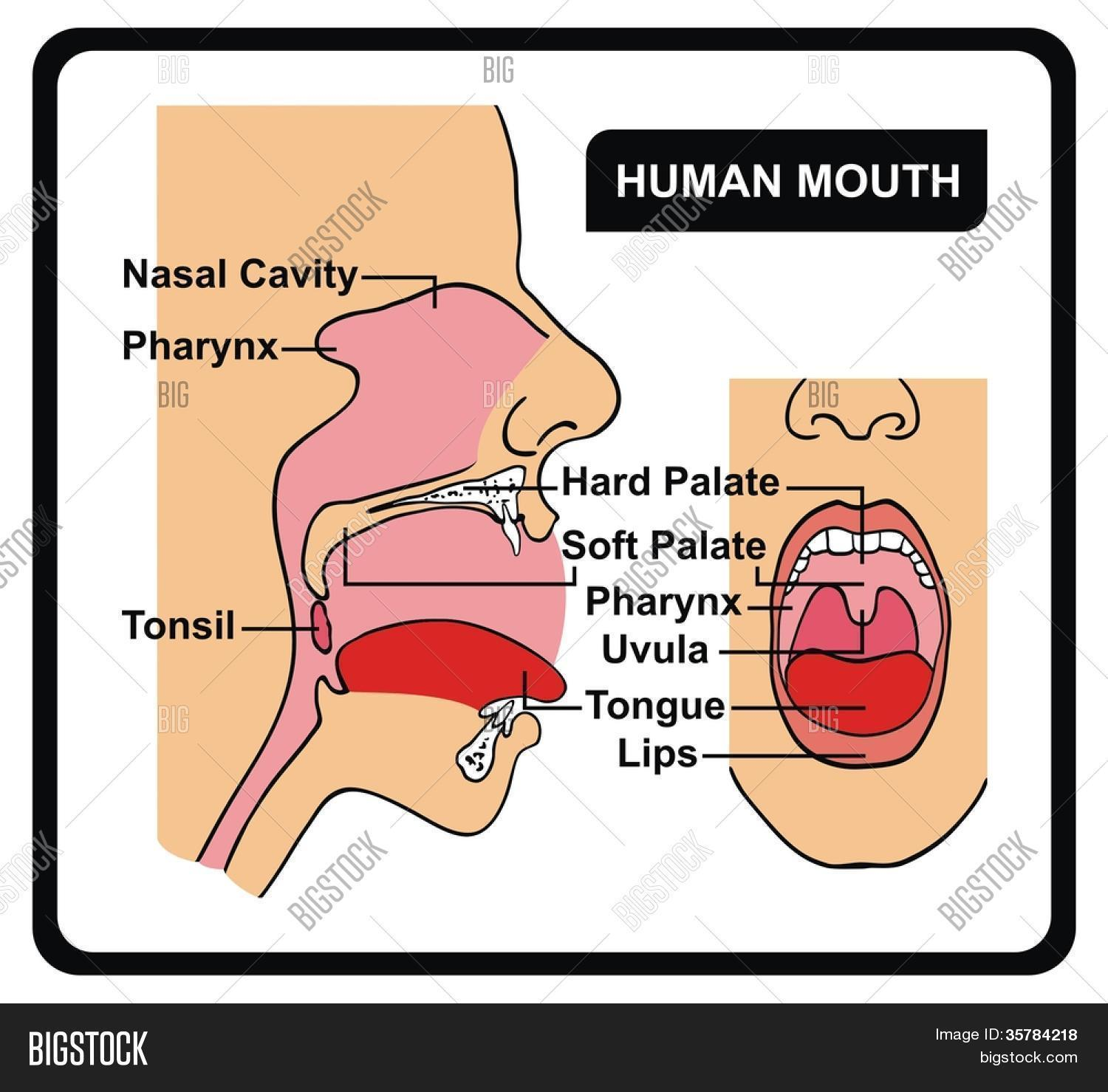 Human Mouth Anatomy Image & Photo (Free Trial) | Bigstock