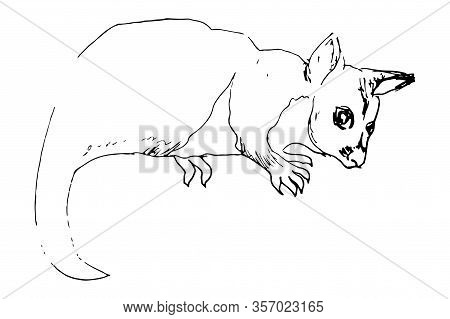 Kuzu, Brush-tailed Tails, Brush-tailed Possums, Brush-tailed Couscous Are The Genus Of Mammals Of Th
