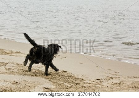 Black Wet And Dirty Dog Very Playful By The Beach. Niedersachsen, Germany.