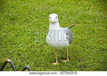 Seagulls On Green Grass. Seagull In The Uk On Grass To Entice Worms To The Surface For Food. Gull Wa