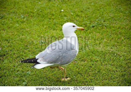Seagull In The Uk On Grass To Entice Worms To The Surface For Food. Gull Walk In Italy Park. Beautif