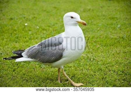 Gull Walk In Italy Park. Beautiful And Funny Seagull On Green Grass. Member Of The Gull Family. Sea