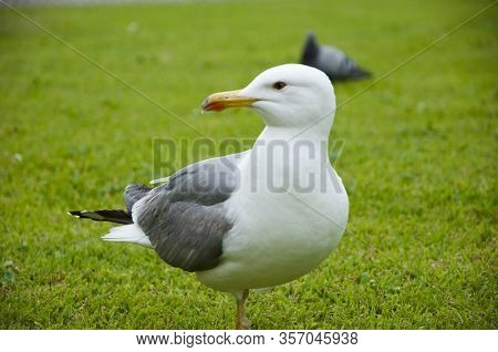 Beautiful And Funny Seagull On Green Grass. Seagulls On Green Grass. Seagull In The Uk On Grass To E