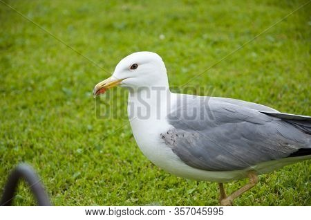 Gull Walk In Italy Park. Beautiful And Funny Seagull On Green Grass. Gull Bird Was Put On Top Of Gra