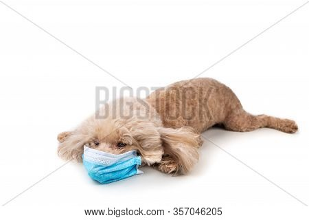 Pet Dog Poodle With Face Mask  To Protect Against Flu Virus