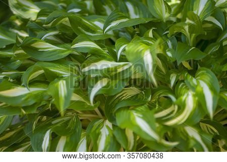 Green Grass Background. Backyard For Background. Green Lawn Desktop Picture