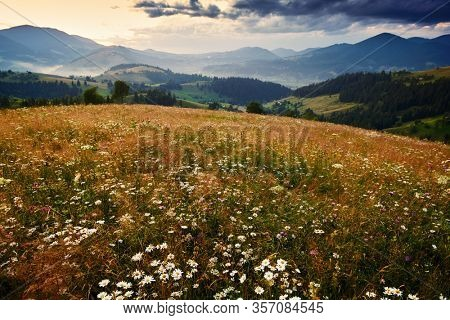 wildflowers, meadow and golden sunset in carpathian mountains - beautiful summer landscape, spruces on hills, dark cloudy sky and bright sunlight