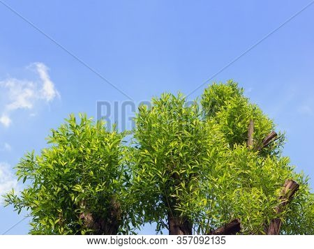 The Clipped Top Of A Willow Crown With New Young Green Branches Against The Spring Blue Sky. Space F