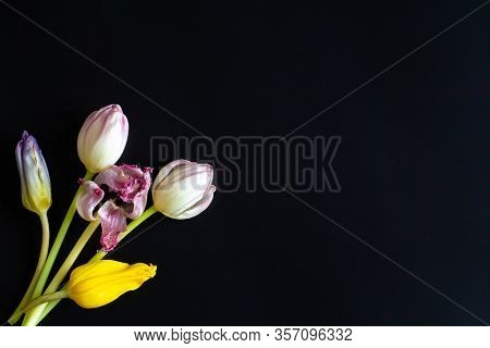 Vintage Realistic Closeup Of Colorful Yellow Rose Violet Wilted Flowers Tulips For Wallpaper Design.