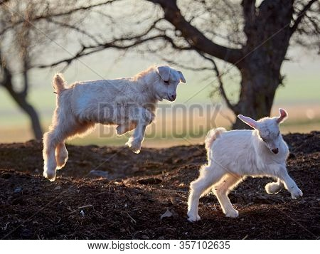cute lamb and baby goat playing on field in spring