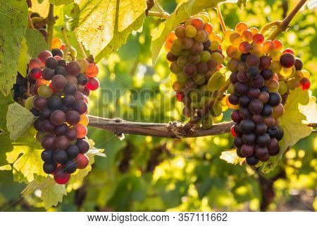 Bunches Of Backlit Pinot Noir Grapes Ripening In Organic Vineyard
