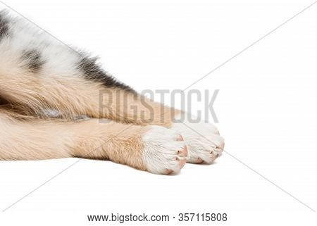 Funny And Cute Hind Legs Aussie Breed Puppy Lying On The Floor, Isolated Background.