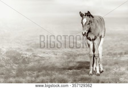 Foal On The Spring Grass On Hazy Day. Black White.