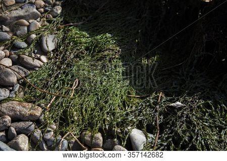 Bright Green Algae On The Beach. A Green Algae.