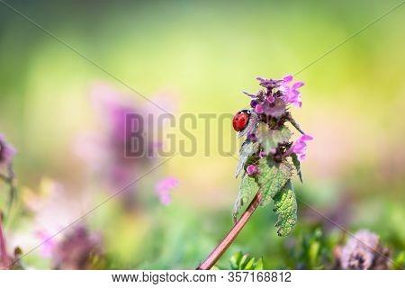 Nature Background Of Ladybug On Flower. Ladybug Insect In Nature. Nature Insect Ladybug On Purple Fl