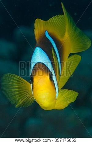 Anemonefish Clownfish Underwater In The Red Sea