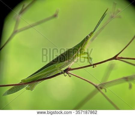 Rice Grasshoppers - Close Up Detail Of Green Grasshopper
