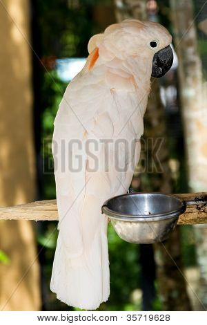 Moluccan Salmon-Crested Cockatoo (Cacatua moluccensis) in nature surrounding Bali Indonesia poster