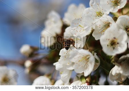 Macro Honey Bee Ass And White Blossom Of Prunus Cerasus  With Blue Sky In Background. Honey-bee Is L