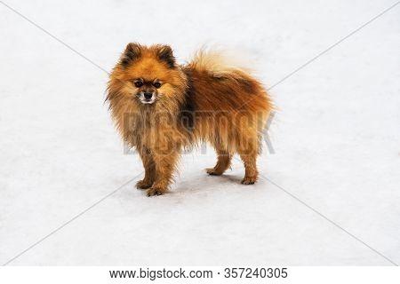 Dog Breed Pomeranian