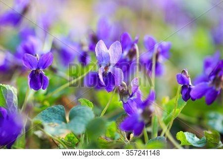 Spring Flowers. Violet Violets Flowers Bloom In The Spring Forest. Viola Odorata. Beautiful Banner O