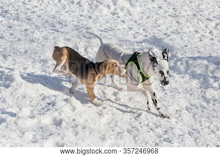 Cute Dalmatian Puppy And English Beagle Puppy Are Playing In The Winter Park. Pet Animals.