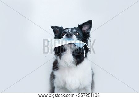 Dog Holding In A Mouth A Surgical Mask. Black And White Border Collie.