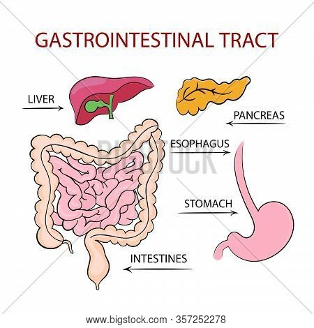 Medicine Gastrointestinal Tract Education Diagram Vector Scheme Human Hand Draw Vector Illustration