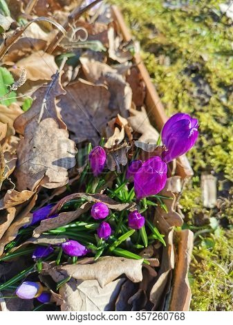 Spring Background With Blooming Purple Crocuses In Early Spring. Autumn Old Leaves.crocus Iridaceae