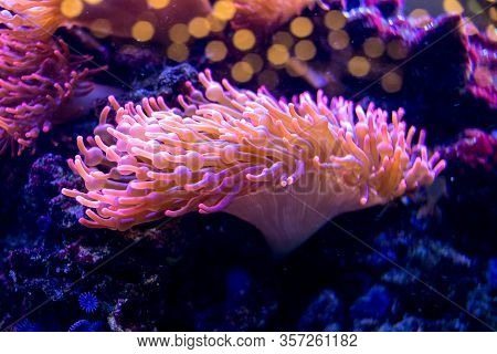 Brightly Lit Sea Anemones Growing On Rock Surfaces In A Home Aquarium Setting. The Vibrant Yellow Te