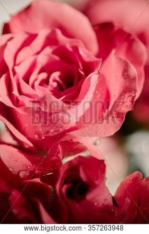 Macro Pink Red Roses With Water Drops On Petals. Close Up. Harsh Sunlight. Direct Sunlight. Water Dr